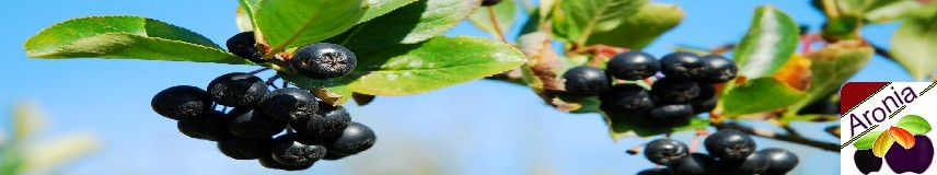 information about aronia aroniabeere pflanze und wirkung kennen lernen. Black Bedroom Furniture Sets. Home Design Ideas